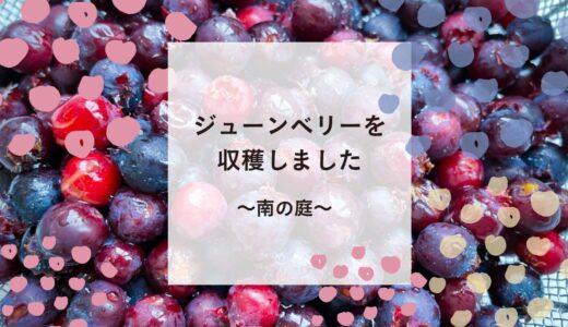 ジューンベリーを収穫して食べてみました♪