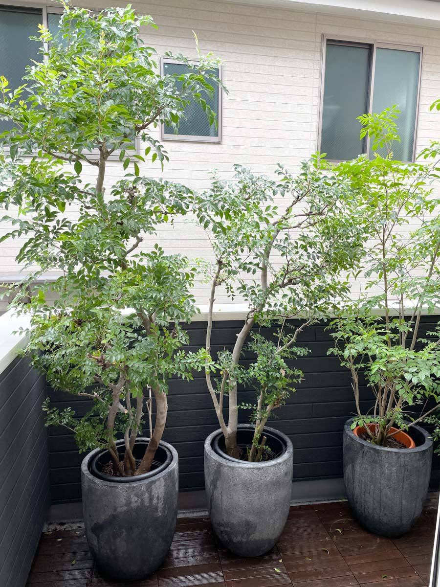 バルコニーのシマトネリコの鉢植え